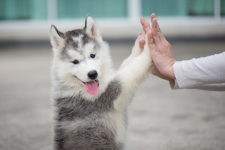 Puppy training helps build a solid and harmonious relationship between dog owner and the dog since it's young.